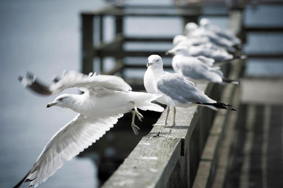 Seagulls sunbathe on a pier in Great Neck