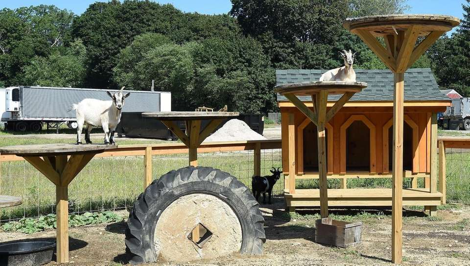Goats days of August at Olish Farms in