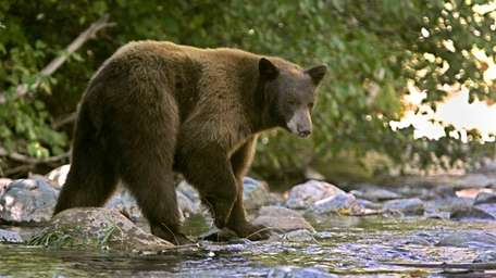 A black bear scans the water while hunting