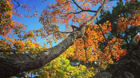 Maples in fall-bloom at Planting Fields Arboretum in