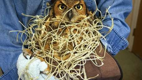 A great horned owl that was found in