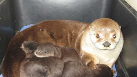 Jelly, a North American river otter, gave birth
