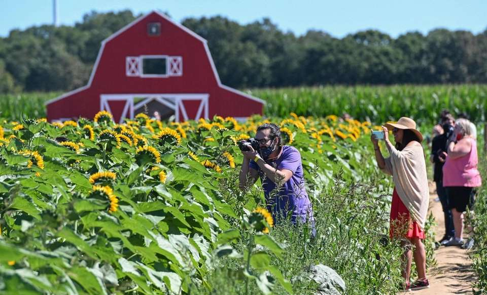 People take in the view of sunflowers as