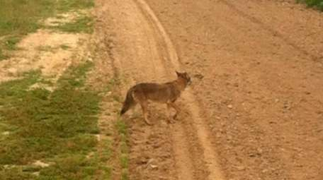 The first officially confirmed Long Island coyote sighting
