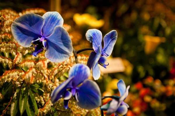Blue orchids are a popular attraction at the