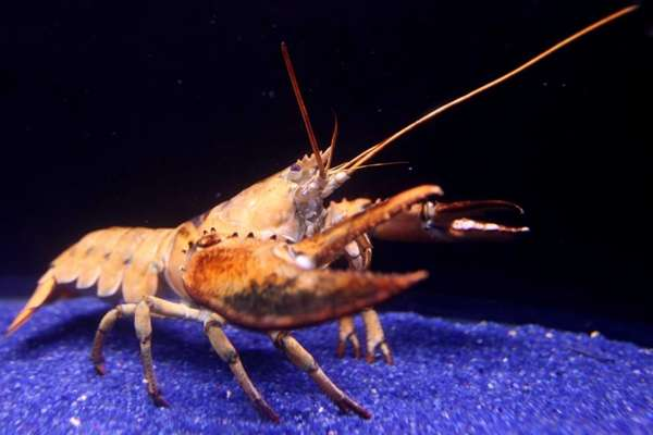 Lucy, a rare yellow lobster, is pictured at