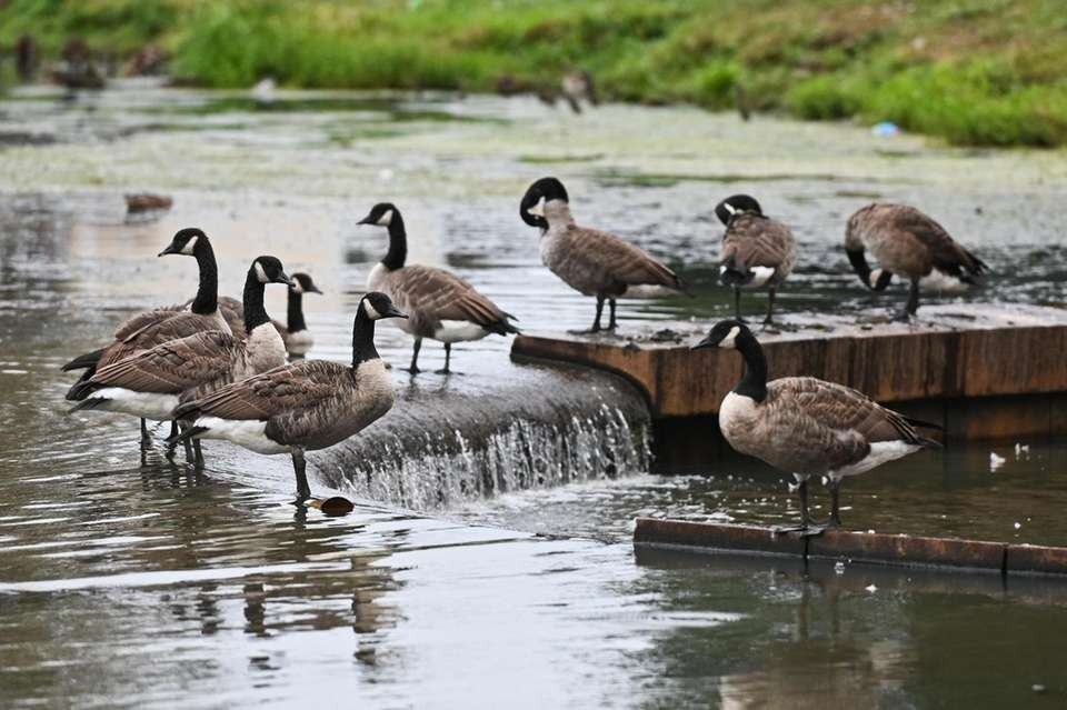 Cananda Geese gather on Milburn Pond as animal