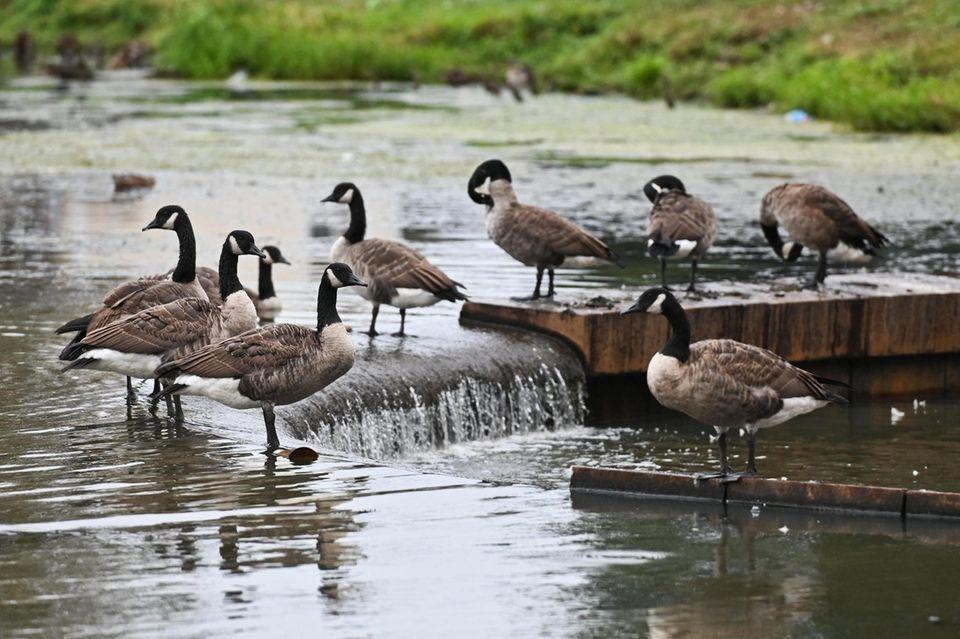 Cananda Geese gather on Milburn Pond as animal