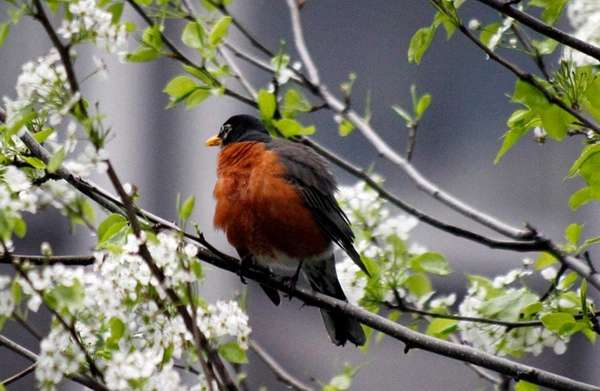Robins tend to show up in area backyards