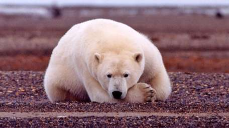 The Southern Beaufort Sea population of polar bears
