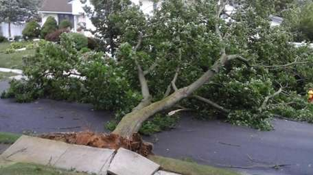 The 65-year-old maple tree that was felled by