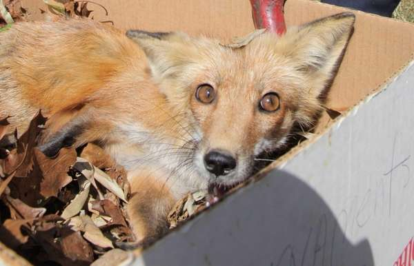Suffolk County polices place an injured fox into