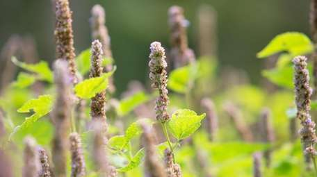 Anise hyssop supports birds for six months of