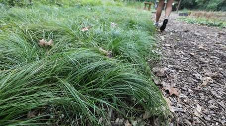 Pennsylvania sedge is a groundcover that provides food