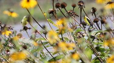 An American Goldfinch sits on a coneflower at