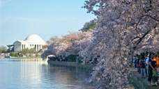 Cherry tree blossoms and monuments paint a pretty