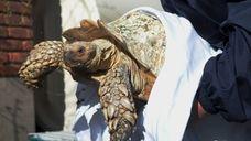 Suffolk SPCA investigator Regina Benfante removes a large