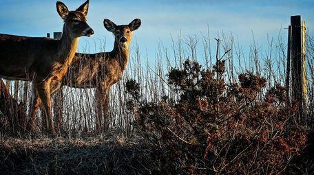Deer graze along the dunes at Robert Moses