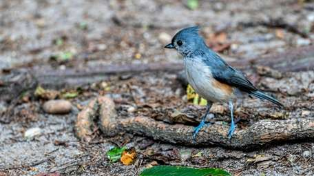 A tufted titmouse was spotted along the trail