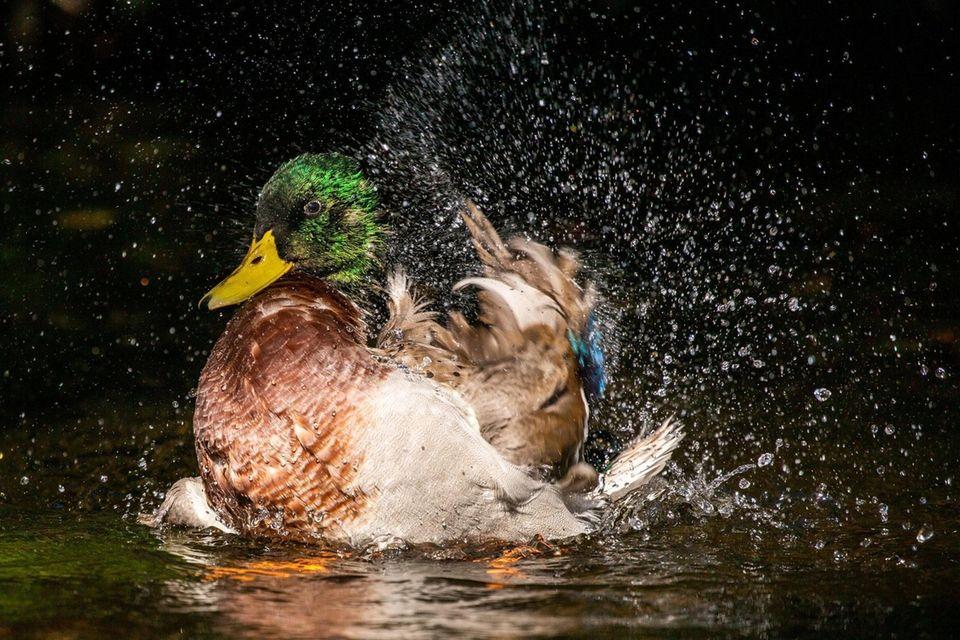 A duck bathes itself at Connetquot River State