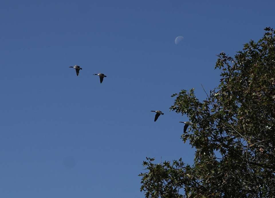 Geese fly in a bright blue sky past