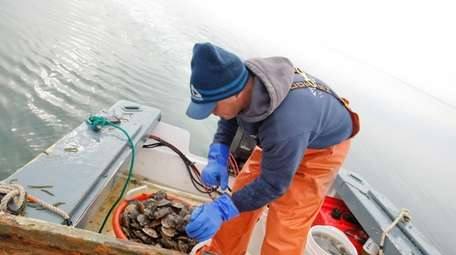 Peconic Bay scallop harvesting season seems lost this