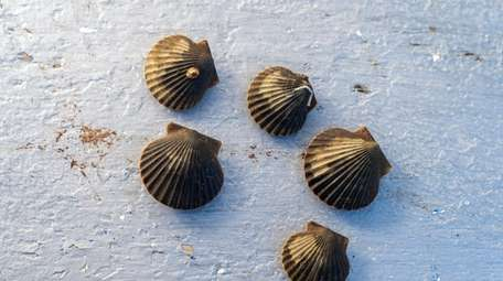 Juvenile scallops at the Cornell Cooperative Extension of