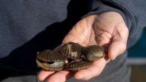 Baymen say the scallop harvest season, which starts