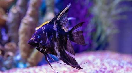 Angelfish in the 400-gallon aquarium at David Schiffman's