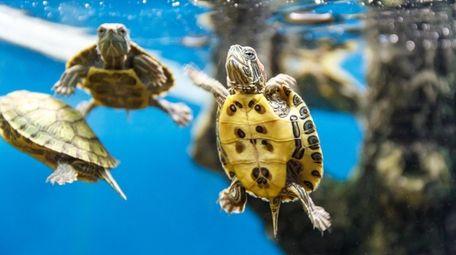 Turtles swimming in a home aquarium.
