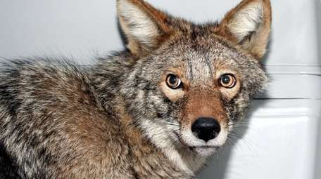 A coyote being cared for at a North
