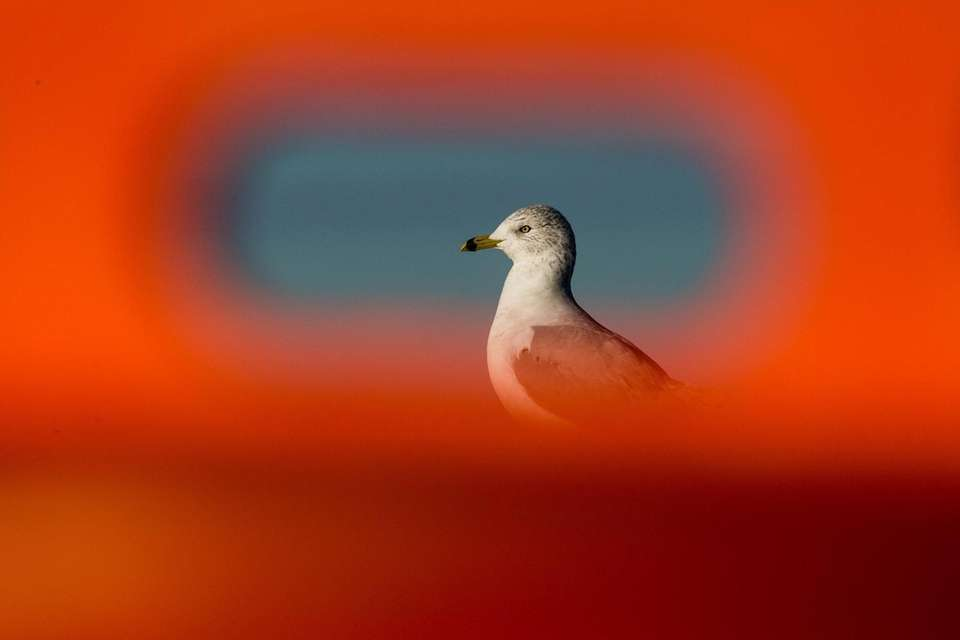 A seagull is pictured through a traffic drum
