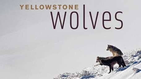"""Yellowstone Wolves"" looks at how wolves have helped"