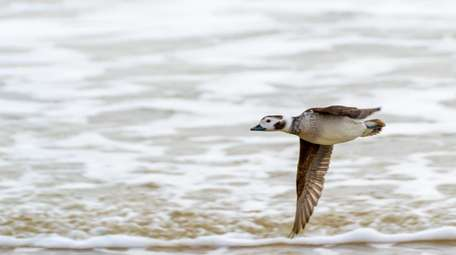 A waterfowl flies over the ocean during a