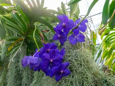 Vanda Orchid with Spanish moss is among the