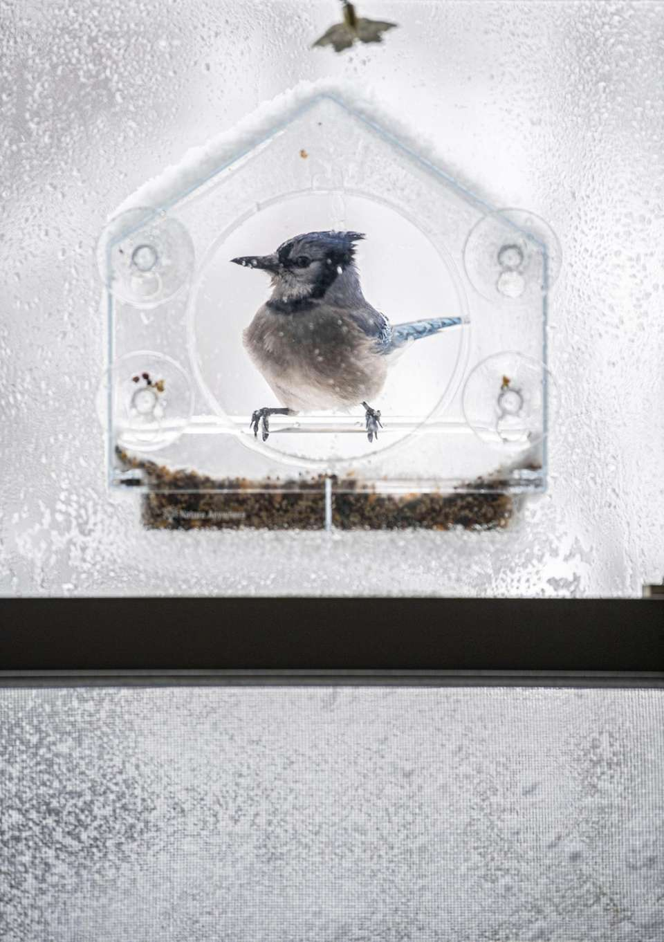 A bluejay seeks refuge and food during today's