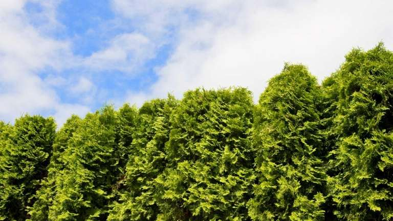 Arborvitae used as a hedge lend themselves to