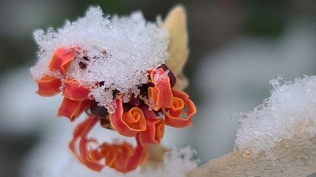 Witch hazel blooms in January in Adam Bundy