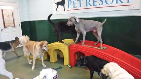 Canine daycare customers explore the obstacles at Best