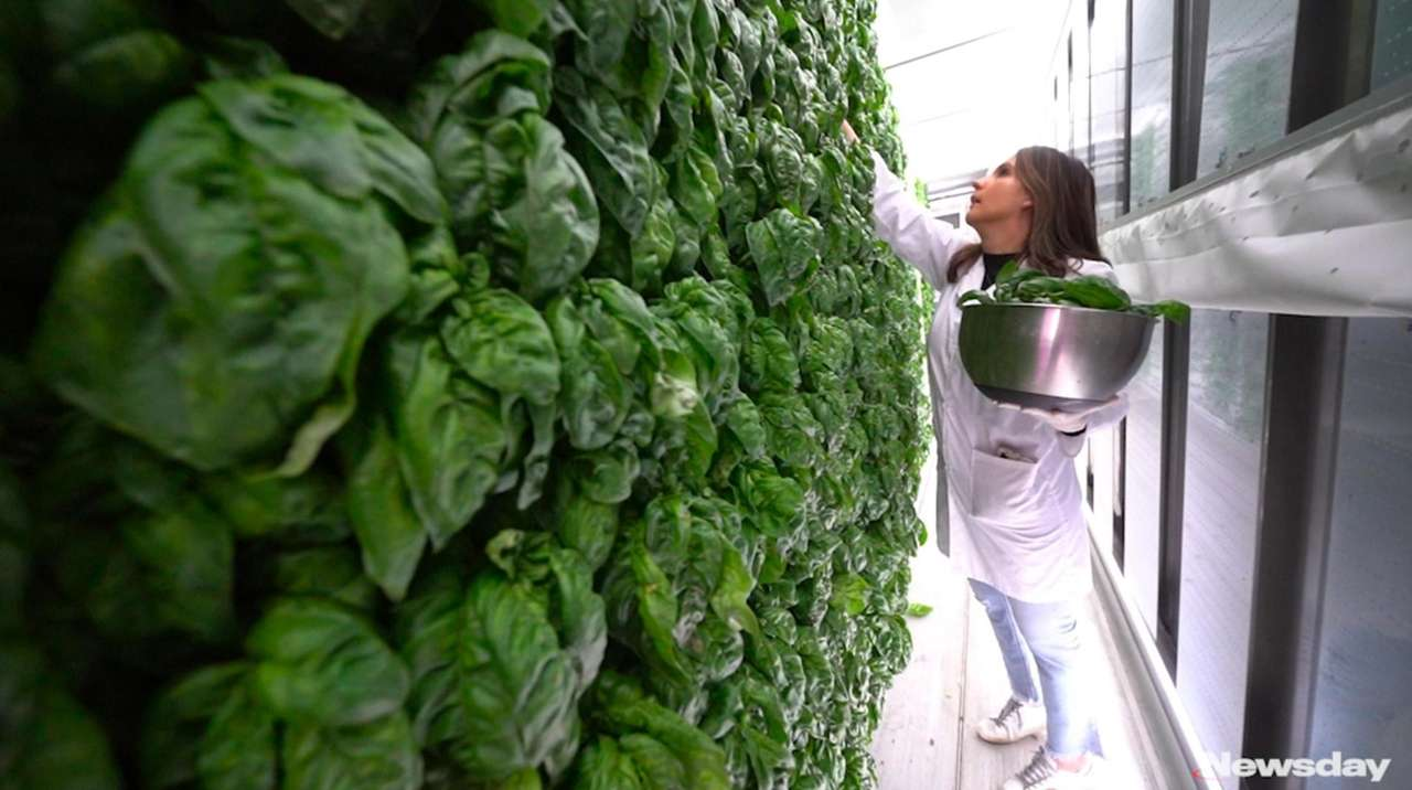 A Long Island vertical farm that stacks lettuce