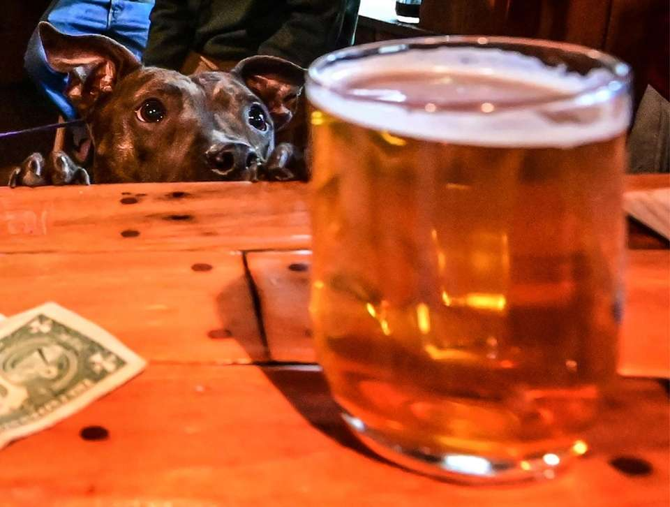 A Pooch eyes up a beer on the