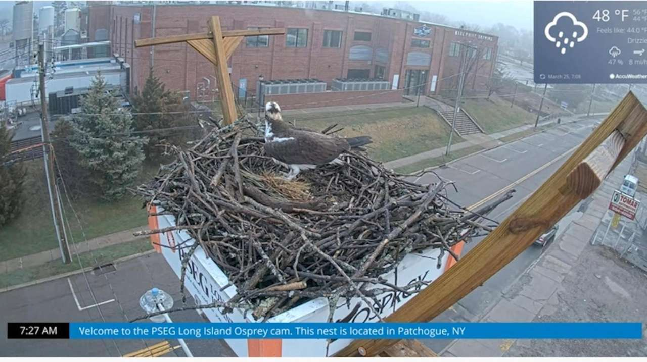 Osprey were seen returning to a Patchogue nest.