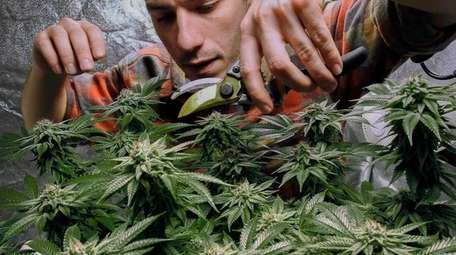 James MacWilliams prunes a marijuana plant that he