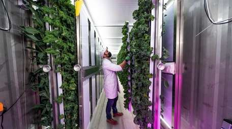 Ryan McGann inspects romaine lettuce at the hydroponic