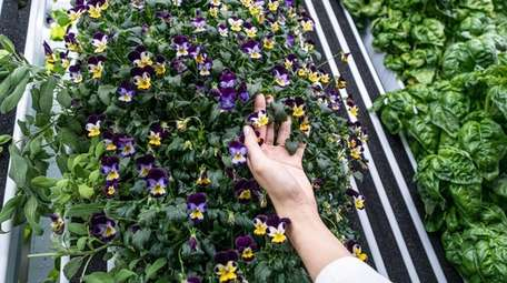 Edible flowers are among the crops the McGanns