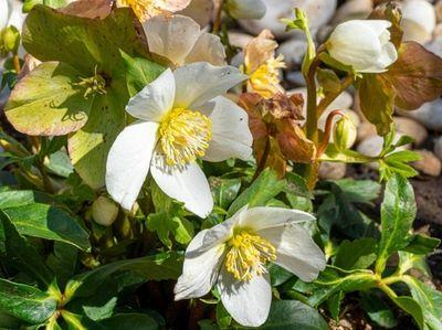 Christmas Rose hellebore ( Helleborus niger 'Jacob') the