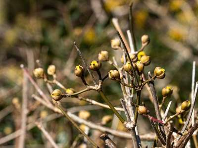 With its yellow flowers appearing in March, the