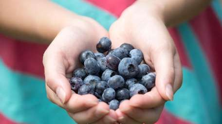 A woman holds her pick of ripened blueberries