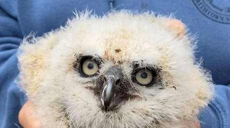 This baby great horned owl fell out of