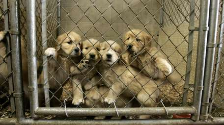 Golden retrievers at Mountain View Kennels, a respected